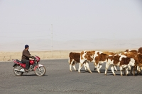 China;person;human;chinese;race;ethnicity;ethnic;herder;herding;cow;animal;farmer;road;bike;motorbike;Inner-Mongolia