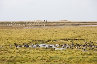 Brent-Geese;Branta-bernicla;flying;North-Norfolk;Winter;UK;Brant;Black-Brant;Brant-Goose;bird;flock;flocking;flight;flying;formation;migrant;migrating;wing;flap;flapping;sky;duck;Wigeon;salt-marsh;habitat;feeding;Cley;Salthouse;birdwatcher;bird-watching