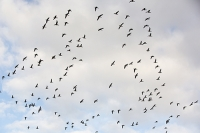 Brent-Geese;Branta-bernicla;flying;North-Norfolk;Winter;UK;Brant;black-Brant;Brant-Goose;bird;flock;flocking;flight;flying;formation;migrant;migrating;wing;flap;flapping;sky