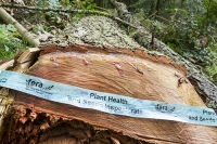woodland;wood;tree;forest;Grasmere;Lake-District;UK;Cumbria;National-Park;infected;infection;infectious;spread;Phytophera-Ramorum;disease;plant-disease;infects-Larch-Trees;felled;contain;spread;Larch;Larix-decidua;FERA;plant-health;Plant-health-and-Seeds-Inspectorate;Food-and-Environment-Research-Agency;tape;logo