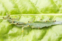 leaf;green;insect;caterpillar;eat;eating;food;pest;consumming;green;yellow;black;small;macro;Willow;Sawfly;Sawfly-larvae;Craesus-septentrionalis