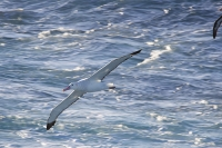 Argentina;South-America;Austral;coast;South-Atlantic;Drake-Passage;Antartic;Sub-Antarctic;bird;seabird;petrel;Giant-Petrel;brown;white;feathers;plumage;soar;glide;efficient;wings;flight;fly;flying;Albatross;Wandering-Albatross;Diomedea-exulans;Snowy-albatross;White-Winged-Albatross;wing-span;large;massive