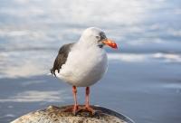 Ushuaia;Tierra-del-Fuego;Argentina;Patagonia;South-America;Austral;coast;Beagle-channel;bird;Gull-seagull;Dolphin-Gull;black-and-white;feathers;plumage;Leucophaeus-scoresbii;grey;red;bill;beak;feet;webbed