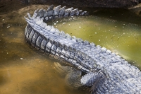 Queensland;Australia;Hartleys-Crocodile-Farm;tourism;tourist-atraction;wildlife;wildlife-park;captive;Cairns;eye;snout;reptile;dangerous;jaws;teeth;fangs;Crocodile;crocodilus-porosus;scales;skin;crocodile-farm;predator;pen;captive;crocodile-meat;leather;tail