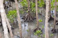 Cairns;Queensland;Australia;tree;mangrove;swamp;mangrove-swamp;tidal;intertidal;coast;coastal-protection;habitat;mud;tree-trunk;roots;high-tide