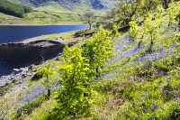 tree-planting;Haweswater;Lake-District;UK;hill;mountain;reservoir;tree;protection;plastic;carbon-offset;climate-change;habitat;restoration;habitat-restoration;Oak;Oak-tree;Spring;Bluebells;bluebell
