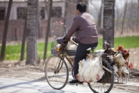 China;person;human;chinese;race;ethnicity;ethnic;cyclist;cycling;bike;bicycle;carbon-footprint;travel;transport;road;chicken;food;bird-flu;livestock;animal-welfare;cruelty;animal-cruelty;welfare;hanging;bike;cyclist;bicycle