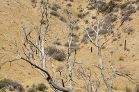 USA;US;America;California;desert;Tehachapi-Pass;brown;drought;dessicated;dried-up;climate-change;global-warming;tree;branch;dead;dying;killed;hill;farmland;parched