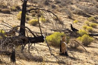 USA;US;America;California;desert;Tehachapi-Pass;brown;drought;dessicated;dried-up;climate-change;global-warming;tree;branch;dead;dying;killed;hill;farmland;parched;fire;wild-fire;bush-fire;forest-fire;killed;dead