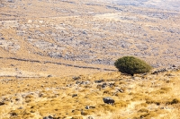 Lesvos;Lesbos;Greece;island;Aegean;dry;barren;drought;summer;vegetation;thorny;prickly;dried-up;hill;vegetation-type;habitat;sparce;hillside;west;rock;rocky;wall;ancoient;dry-stone-wall;field;field-boundary;boundary;ownership;tree;green