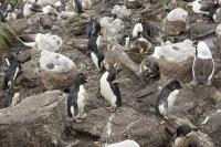 Argentina;South-America;Austral;coast;island;island-chain-Falkland;Falklands;Falkland-Islands;Malvinas;South-Atlantic;English;Westpoint;Island;Tussock-grass;coast;habitat;shelter;moorland;moor;rugged;remote;isolated;grass;plant;bird;albatross;Black-Browed-albatross;Thalassarche-melanophris;colony;bird-colony;nest;nesting;nesting-colony;breeding;reproduction;beak;bill;orange;incubate;incubating;Penguin;Rockhopper-Penguin;Eudyptes-chrysocome;chick
