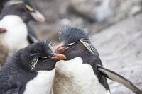 Argentina;South-America;Austral;coast;island;island-chain-Falkland;Falklands;Falkland-Islands;Malvinas;South-Atlantic;English;Westpoint;Island;coast;habitat;shelter;moorland;moor;rugged;remote;isolated;bird;colony;bird-colony;nesting;nesting-colony;breeding;reproduction;beak;bill;orange;Penguin;Rockhopper-Penguin;Eudyptes-chrysocome;crest;crested