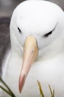 Argentina;South-America;Austral;coast;island;island-chain-Falkland;Falklands;Falkland-Islands;Malvinas;South-Atlantic;English;Westpoint;Island;grass;coast;habitat;moorland;moor;rugged;remote;isolated;bird;albatross;Black-Browed-albatross;Thalassarche-melanophris;colony;bird-colony;nest;nesting;nesting-colony;breeding;reproduction;beak;bill;insulated;insulating;feathers;eye;head;closeup;cute;beautiful;soft