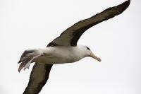 Argentina;South-America;Austral;coast;island;island-chain-Falkland;Falklands;Falkland-Islands;Malvinas;South-Atlantic;English;Westpoint;Island;grass;coast;habitat;moorland;moor;rugged;remote;isolated;bird;albatross;Black-Browed-albatross;Thalassarche-melanophris;colony;bird-colony;nest;nesting;nesting-colony;breeding;reproduction;beak;bill;insulated;insulating;feathers;eye;head;closeup;cute;beautiful;soft;wings;wing-span;fly;flight;flying