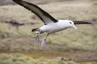 Argentina;South-America;Austral;coast;island;island-chain-Falkland;Falklands;Falkland-Islands;Malvinas;South-Atlantic;English;Westpoint;Island;grass;coast;habitat;moorland;moor;rugged;remote;isolated;bird;albatross;Black-Browed-albatross;Thalassarche-melanophris;colony;bird-colony;nest;nesting;nesting-colony;breeding;reproduction;beak;bill;insulated;insulating;feathers;eye;head;closeup;cute;beautiful;soft;wings;wing-span;fly;flight;flying;feet;webbed-feet;undercarriage;updraught;uplift;hover;airbourne