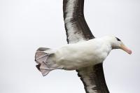 Argentina;South-America;Austral;coast;island;island-chain-Falkland;Falklands;Falkland-Islands;Malvinas;South-Atlantic;English;Westpoint;Island;grass;coast;habitat;moorland;moor;rugged;remote;isolated;bird;albatross;Black-Browed-albatross;Thalassarche-melanophris;colony;bird-colony;nest;nesting;nesting-colony;breeding;reproduction;beak;bill;insulated;insulating;feathers;eye;head;closeup;cute;beautiful;soft;wings;wing-span;fly;flight;flying;feet;webbed-feet;undercarriage
