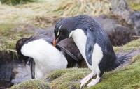 Argentina;South-America;Austral;coast;island;island-chain-Falkland;Falklands;Falkland-Islands;Malvinas;South-Atlantic;English;Westpoint;Island;coast;habitat;shelter;moorland;moor;rugged;remote;isolated;bird;colony;bird-colony;nesting;nesting-colony;breeding;reproduction;beak;bill;orange;Penguin;Rockhopper-Penguin;Eudyptes-chrysocome;crest;crested;wash;washing;clean;hygiene