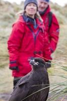 Argentina;South-America;Austral;coast;island;island-chain-Falkland;Falklands;Falkland-Islands;Malvinas;South-Atlantic;English;Westpoint;Island;Tussock-grass;coast;habitat;shelter;moorland;moor;rugged;remote;isolated;grass;plant;bird;beak;bill;tasme;raptor;bird-of-prey;Caracara;Striated-Caracara;Phalcoboenus-australis;tame;red;woman;bird-watching;eco-tourism;wildlife-tourism;female