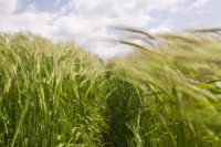 wind-movement-green-crops-wheat-growing-agriculture-plant-cereal