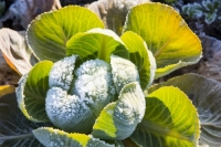 20121213_B18A3543.jpg Frost on green cabbage being grown on the Lancashire Fylde coast near Southport, UK.