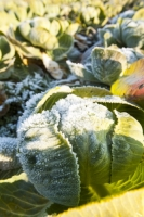 20121213_IMG_2413.jpg Frost on green cabbage being grown on the Lancashire Fylde coast near Southport, UK.