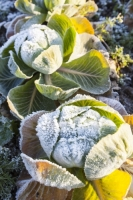 20121213_IMG_2419.jpg Frost on green cabbage being grown on the Lancashire Fylde coast near Southport, UK.
