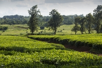 Africa;Malawi;rrural;countryside;woodland;tree;green;rainy-season;Mulanje;plantation;tea;tea-plant;agriculture;farming;tea-plant;green