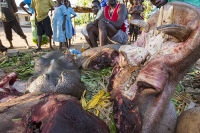 Malawi;Africa;man;African;meat;game;Hippo;Hippopotamus;hunter;killed;butcher;butchered;head;teeth;mouth;tusks;tusk;tongue;Hippopotamus-amphibius