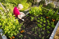 woman;tending;vegetables;growing;raised-bed;garden;Ambleside;Cumbria;UK;gardener;gardening;soil;crop;plant;green;self-sufficient;vegetable-growing;beans;leaf;fertile;fertility;summer;light;sunlight;glow