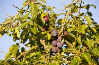 orchard;tree;plum;plum-tree;fruit;fruiting;summer;light;glow;sunset;dusk;leaf;Pershore;Worcestershire