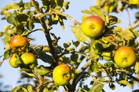 orchard;tree;Apple;Apple-tree;fruit;fruiting;summer;light;glow;sunset;dusk;leaf;Pershore;Worcestershire