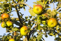 orchard;tree;Apple;Apple-tree;fruit;fruiting;summer;light;glow;sunset;dusk;leaf;Pershore;Worcestershire;wind;breeze;sway;branch;movement;motion-blur
