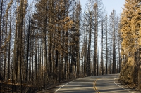 USA;US;America;California;drought;climate-change;global-warming;dried-up;wild-fire;bush-fire;King-Fire-El-Dorado-National-Forest;Georgetown;forest;tree;conifer;pine-tree;woodland;destroyed;destruction;black;blackened;burn;burning;burnt;devastation;air-pollution;air-quality;carbon;greenhouse-gas;particles;ash;habitat;consequence;sun;sunlight;aftermath;road