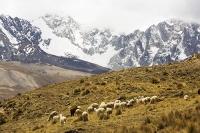 South-America;Bolivia;La-Paz;Huayna-Potosi;El-Alto;mountain;altitude;high;snow;glacier;backdrop;glacial-retreat;climate-change;global-warming;mountain-range;Cordillera-Real;Altiplano;glaciated;snowpack;melting;water-supply;moraine;lateral-moraine;grass;grassland;Lama;herd;flock;stock
