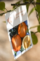 Sivota;Greece;mediterranean;orange;Orange;Orange-tree;tree;fruit;fruit-tree;label