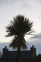 Scotland;UK;coast;North-Sea;Pentland-firth;Orkney;Stromness;town;house;island;roof;roof-line;chimney;chimney-pot;silhouette;tree;palm;palm-tree;gulf-stream;north-atlantic-drift;warm-current;ocean-current;weather;leaf;palm-frond;climate-change;global-warming