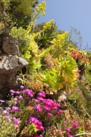 Cornwall;UK;coastal;sea;atlantic;ocean;sky;blue;outdoors;landscape;summer;sun;Tresco;island;Scilly;Scilly-Isles;Isles-of-Scilly;Gulf-Stream;mild;tropical;North-Atlantic-Drift;sea-temperature;ocean-current;vegetation;climate-change;global-warming;Abbey-Gardens;garden;gardening;tropical-plant;flower;pink