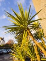 Padstow;Cornwall;South-West;palm;palm-tree;tree;North-Atlantic-Drift;Gulf-Stream;warm;tropical