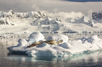 Austral;South-Atlantic;Antarctic;southern-Ocean;wildlife;pinniped;seal;Leopard-Seal;snow;resting;hauled-out;fur;coat;Drygalski-Fjord-ice;sea-ice;iceberg;rest;resting;glacial;Hydrurga-leptonyx;predator;hunter;large;glacier;glacial;glacial-retreat;mountain;mountain-range;stunning;dramatic;landcape;awesome;ice-flow;Antarctic-Peninsular;glacial-retreat;warming;climate-change;global-warming;Pinniped;pristine;wilderness
