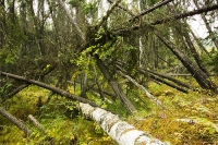 collapse-permafrost-melting-global-warming-climate-change-Fairba;melting-permafrost;methane;Co2;warming;climate;subside;subsidence;lean;leaning;drunken-forest;carbon-sink;carbon-budget;forest;tree;black-spruce