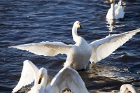 Martin-Mere;Lancashire;UK;Ormskirk;bird;bird-reserve;nature;nature-reserve;conservation;winter;wildfowl;WWT;Wildfowl-and-Wetlands-Trust;organisation;wetland;marsh;water;waterfowl;conservation;swan;Whooper-Swan;white;feathers;plumage;flight;flying;flock;family;Cygnus-cygnus;migrant;migration;winter;wing;flap;flapping;fight;fighting;territory;territorial;dispute;pecking-order;grace;graceful;pristine