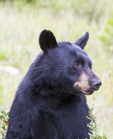 Black-Bear;Bear;Canada;Banff;woods;woodland;forest;fur;coat;hair;wildlife;National-Park;Rockies;Rocky-Mountains;foraging;Ursus-americanus;berry;berries;fruit;feeding-up;hibernate;hibernation;climate-change;global-warming