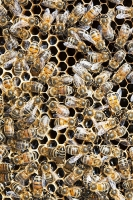 Bee;beekeeping;apiary;apiculture;bee-hive;hive;insect;pollinate;pollination;inspect;check;desease;pest;Varoa-mite;mite;damage;climate-change;global-warming;colony-collapse;cells;honey;honey-production;apiguard;beekeeper;protective-clothing;mask;visor;apistan;damaged;queen;queen-bee;queen-cell;cell;honeycomb