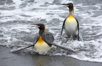 Penguin;King-Penguin;Aptenodytes-patagonicus;Salisbury-Plain;colony;nesting-colony;breeding-colony;King-Penguin-colony;nesting;breeding;reproduction;flightless;bird;numerous;Austral;South-Atlantic;Antarctic;Sub-Antarctic;southern-Ocean;island-British;South-Georgia;remote;colouful;feathers;plumage;bill;beak;orange;eye;close-up;snow;snowing;weather;cold;insulated;insulation;walk;walking;funny;humorous;comical;beach;sea;emerge;fishing-trip;surf;surfing;out-of-control;splash;splashing