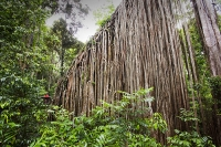 Australia;Queensland;Daintree;rainforest;woodland;trees;carbon-sink;environment;Daintree-rainforest;tropical;canopy;green;lush;verdant;species-rich;fern;palm;frond;chlorophyl;trunk;tree-trunk;massive;huge;Curtain-Fig-Tree;Green-Fig;Ficus-virens;old;Atherton-Tablelands;scale