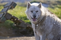 dog;sled-dog;husky;canine;chained;chain;Ilulissat;Greenland;insect;mosquito;flying;insect;attack;blood-sucking;attacking;fur;coat;hair;face;muzzle;insect-attack;pest;pesky;worrying;annoying;nightmare;pain;exasperation;exasperated;defenceless;mass-attack;paradsite;parasitic;clouds;swarm;swarming
