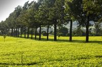 Africa;Malawi;rrural;countryside;woodland;tree;green;rainy-season;Mulanje;plantation;tea;tea-plant;agriculture;farming;tea-plant;green