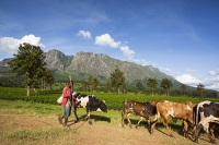 Africa;Malawi;rrural;countryside;woodland;tree;green;rainy-season;Mulanje;plantation;tea;tea-plant;agriculture;farming;tea-plant;green;cow;herd;cow-herd;farmer;man;male;cliff;sheer;granite;steep;road;track;dirt-track