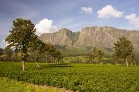 Africa;Malawi;rrural;countryside;woodland;tree;green;rainy-season;Mulanje;plantation;tea;tea-plant;agriculture;farming;tea-plant;green;granite;cliff;sheer;steep