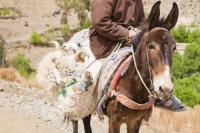 20120409_IMG_7555.jpg A mule loaded with his owner, a Berber arab, and a sheep in the Jebel Sirwa region of the Anti Atlas mountains of Morocco, North Africa. Mules are amazing animals capable of carrying great loads and cost around 1000 Euros.